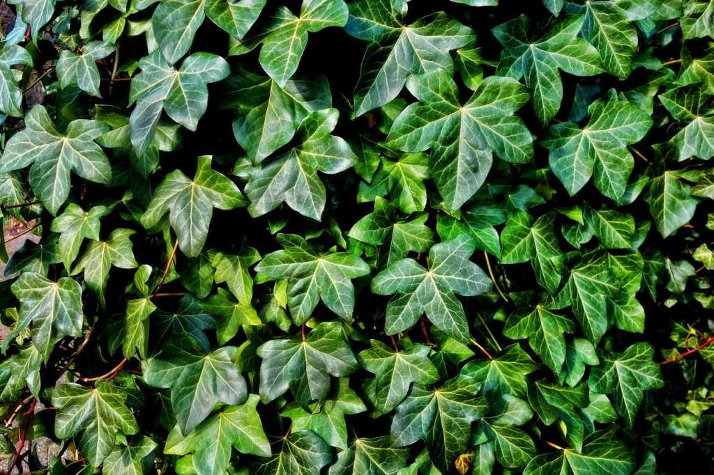 A preparation from Ivy leaf (Hedera helix) is used in the over-the-counter product: Prospan by Helixia